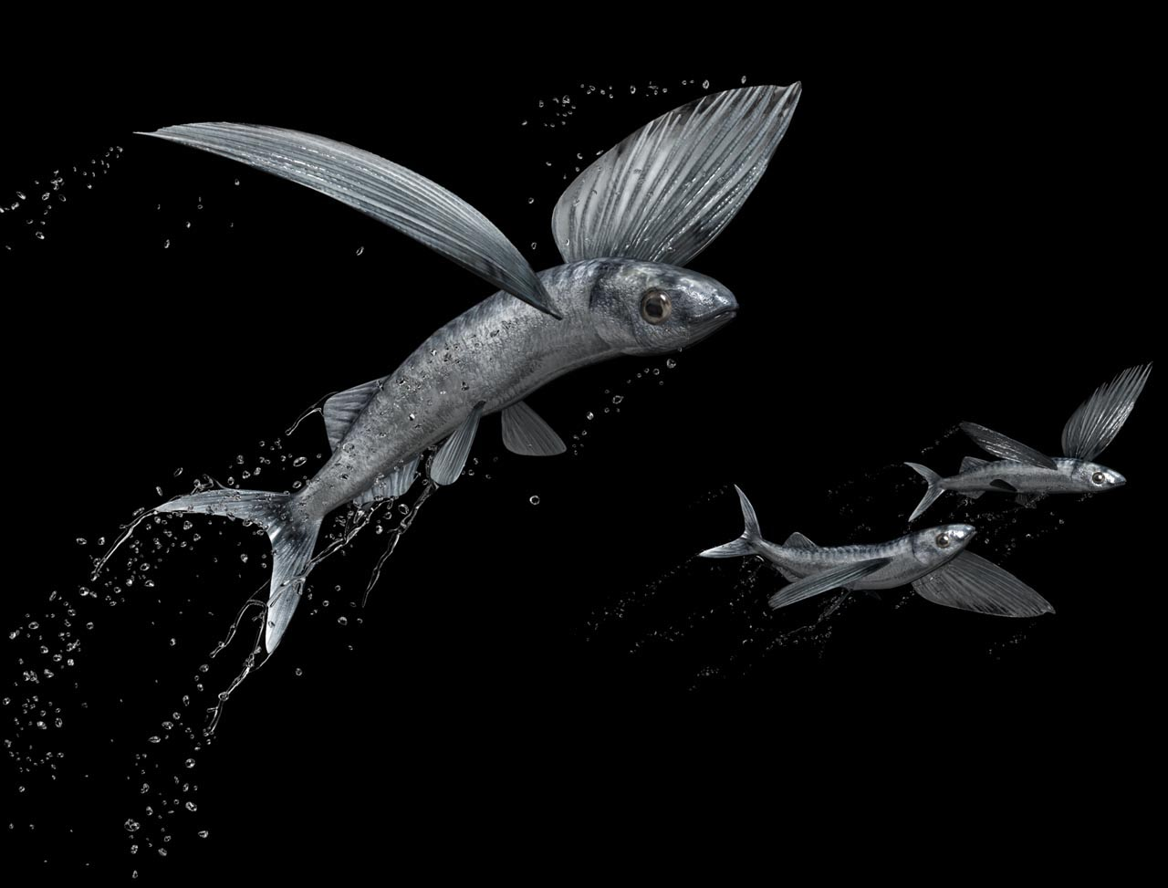 The gallery for flying fish drawing for Flying fish images